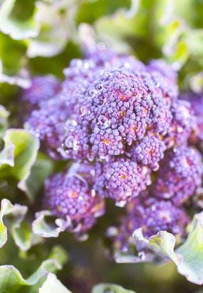 Brocoli violet : semis et culture