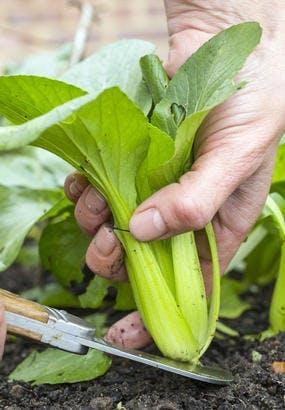 Chou chinois (pak-choï) : semis et récolte