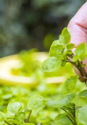 Le cresson : semis et récolte