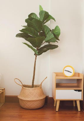 Ficus lyrata : entretien et culture