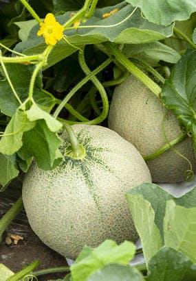 Melon : quand et comment le ramasser ?