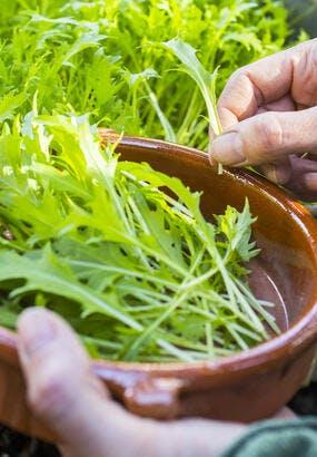 Le mizuna : semis et récolte