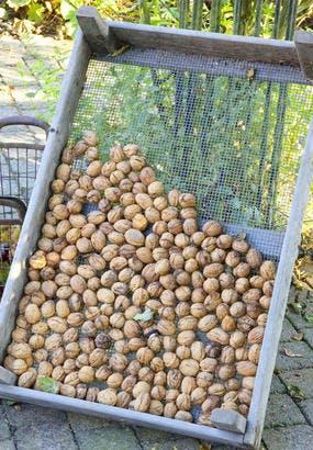 Récolter et conserver les noix