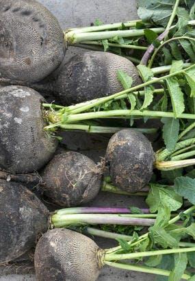 Le radis noir, un géant qui croque