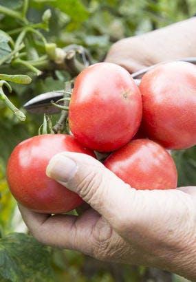 Tomate Pyros : culture, semis, avis