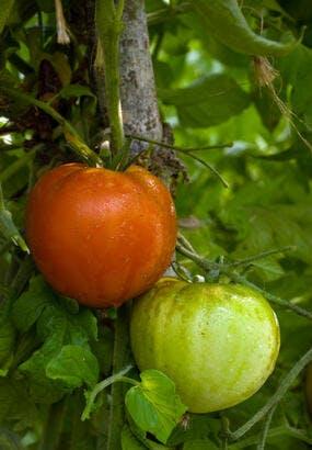 Tomate Marmande : culture, semis, avis