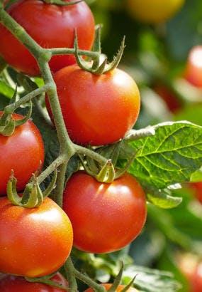 Tomate Montfavet : culture, semis, avis
