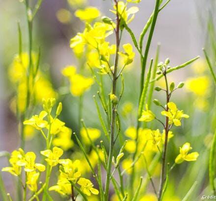 Plants de moutarde en fleurs
