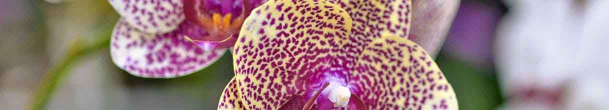 Phalaenopsis, orchidées Love Sand