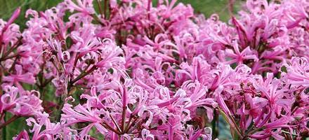 Nérine rose jardin