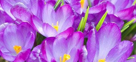 Fleurs crocus