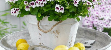 pelargonium pot