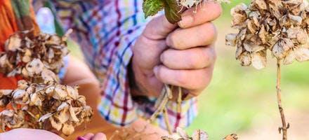 Couper les fleurs séchées des hortensias
