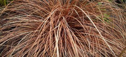 Carex flagellifera 'Bronzita'