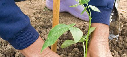 Planter des haricots