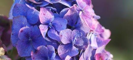Hortensia bleu avec sulfate