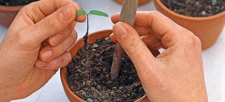 Semis de tomate en pot