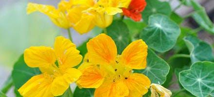 plante parade pucerons