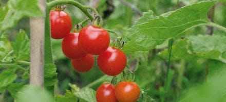 Tomate Super Sweet