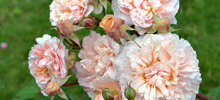 """Roses dites """"anglaises"""""""
