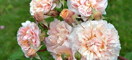 Roses dites