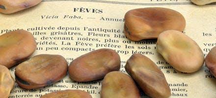 Graines de fèves