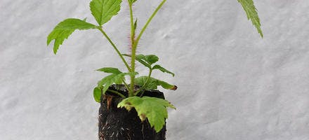 plant de framboisier