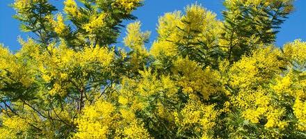 branche de mimosa fleurie
