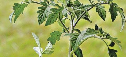 Un plant de tomate