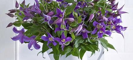 clematique en bouquet