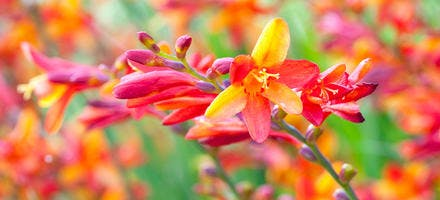 Crocosmia Jackanapes