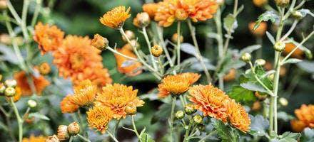 Chrysanthènes