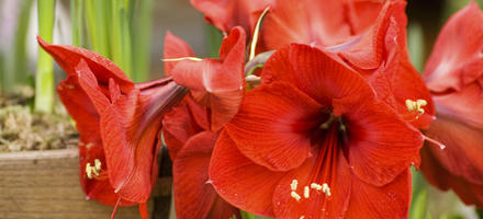 4 variétés d'amaryllis
