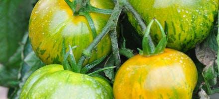 Tomate green zebra