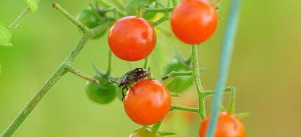 tomate groseille
