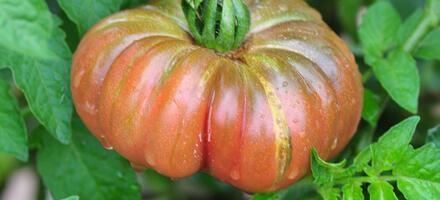 tomate 'Purple Calabash'
