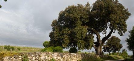 chene vert arbre de l'année 2014