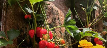 fraisier et fleurs