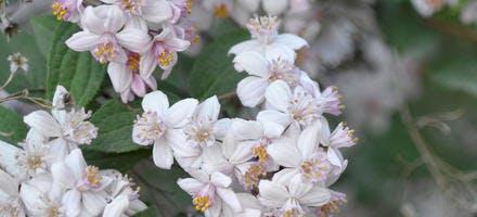 deutzia à fleurs blanches