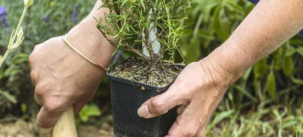Plantez des aromatiques