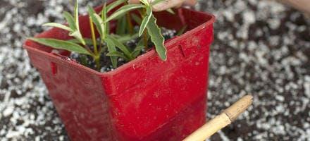 Plantation des boutures de ciste