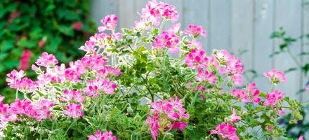 Potée de géraniums roses