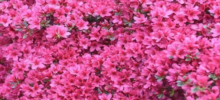 Azalée rose du Japon