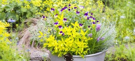 Association aromate et fleurs comestibles