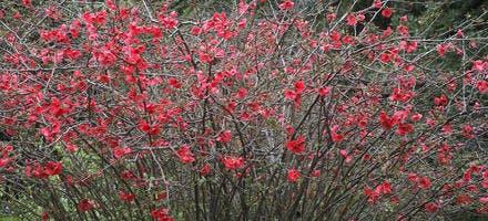 Arbuste en fleurs, cognassier du Japon
