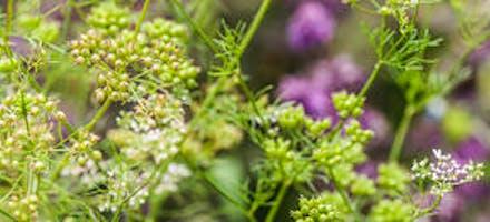 plante aromatique coriandre
