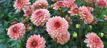 Fleurs de dahlias rose pâle