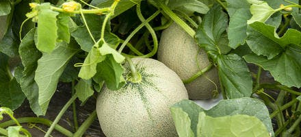 Comment récolter le melon