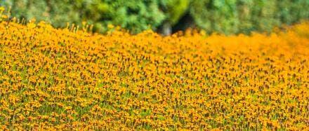 champs de fleurs pour utilisation en engrais verts