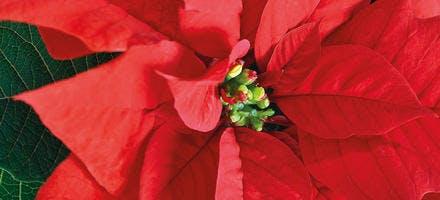 Poinsettia ou étoile de Noël